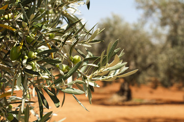 Olive plantation and olives on branch