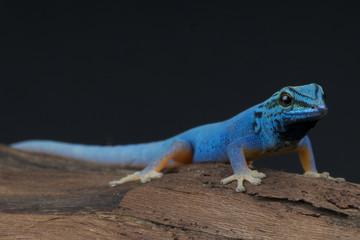Electric blue gecko / Lygodactylus williamsi