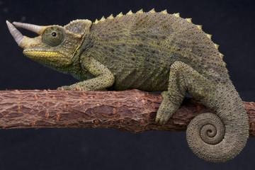 Three-horned chameleon / Trioceros jacksonii