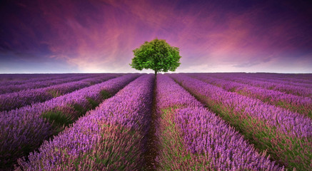 Stunning lavender field landscape Summer sunset with single tree © veneratio