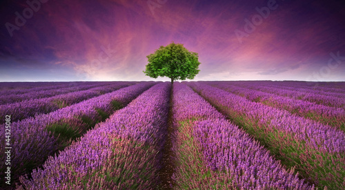 Leinwanddruck Bild Stunning lavender field landscape Summer sunset with single tree