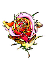 Rose flower drawing art illustration color