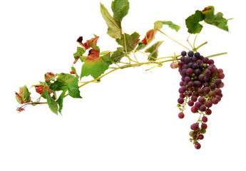 wines with clusters of grapes