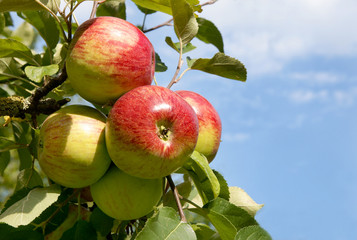 Roter Boskop, Alte Apfelsorte