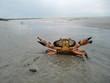 Leinwanddruck Bild - Drohende Strandkrabbe im Watt
