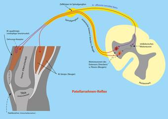 Patellarsehnen-Reflex