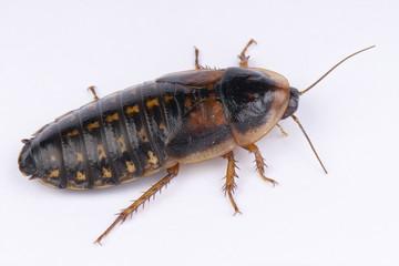 Cockroach / Blaptica dubia