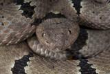 Banded rock rattlesnake / Crotalus lepidus klauberi poster