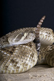 Diamondback rattlesnake / Crotalus atrox poster