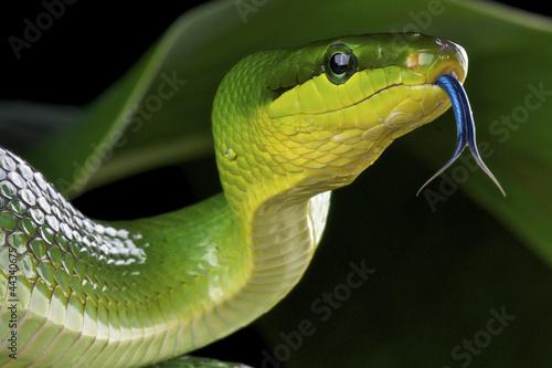 Green ratsnake / Gonyosoma oxycephalum - 44340675