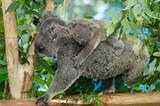 コアラの赤ちゃん 生後6ヶ月