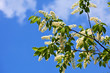 Bird Cherry branch against blue sky