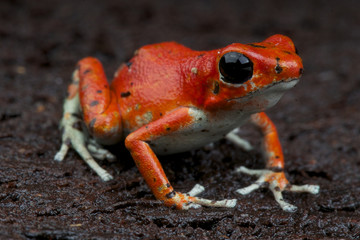 Strawberry dart frog / Oophaga pumilio