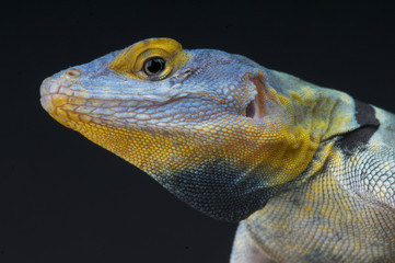 Blue rock lizard / Petrosaurus thalassinus