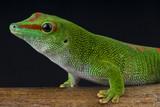 Giant day gecko / Phelsuma madagascariensis grandis poster