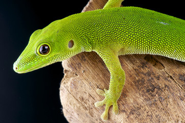 Pemba island day gecko / Phelsuma parkeri