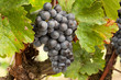 rote Trauben auf Weinstock