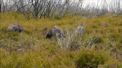 Wilde Emus in Australien