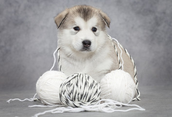 Malamute puppy with a ball of string