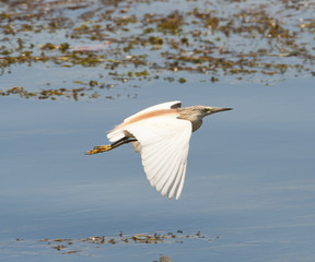 Squacco heron flying over shallow water