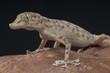 Fan-fingered gecko / Ptyodactylus hasselquisti