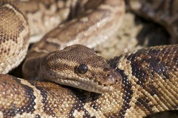 Angolan python / Python anchietae