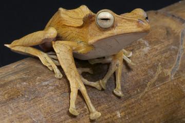 Crested tree frog / Polypedates otilophus