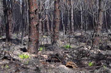 6 jours après un feu de forêt, l'herbe recommence à pousser