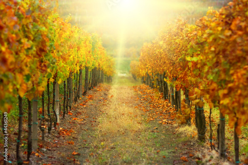 Naklejka Autumn vineyard