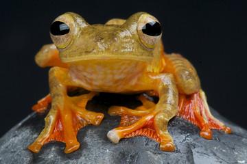 Harlequin tree frog / Rhacophorus pardalis