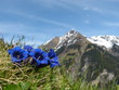 Leinwanddruck Bild - Enzian Blumen der Alpen