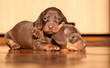 Lovely dachshund puppies under the sunlight