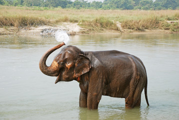 Elephant splashing water, Chitwan National park