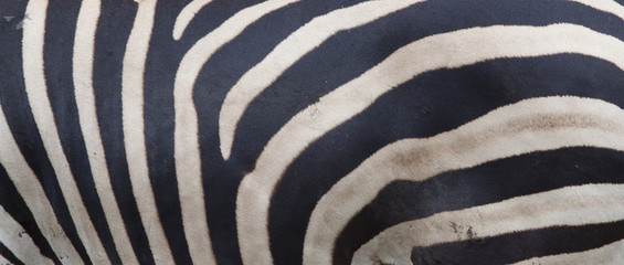 Zeebra skin