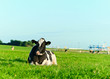 Holstein dairy cow lying on grass