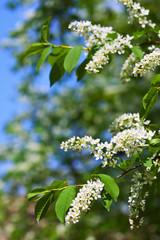 Bird Cherry tree in spring garden