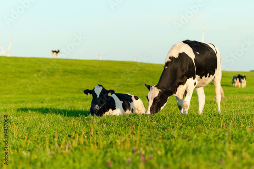 In de dag Koe Holstein cows grazing