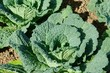 Wirsingkohl - Savoy cabbage 01
