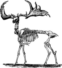 Deer's skeleton