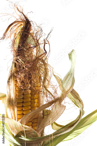 Epis de maïs