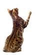 chat bengal de dos
