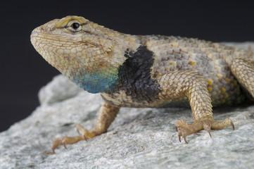Desert spiny lizard / Sceloporus magister