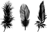 three black feathers illustration