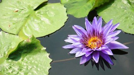 lotus Purple