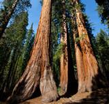 Fototapety Sequoia