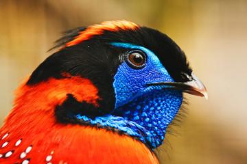 satyr bird