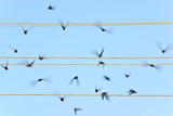 Take-off of swallows
