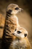 Family of cute meerkats
