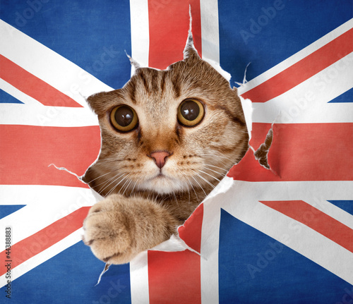 British cat looking up through hole in paper Great Britain flag