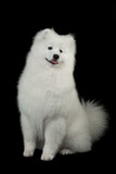 Samoyed dog  on black background.